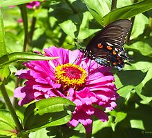 Pipevine Swallowtail  by hannahsview
