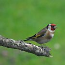 Goldfinch by Declan Carr