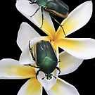 Figeater Beetles Meet For Lunch on the Plumeria! by heatherfriedman