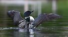 Common loon at 6am by Jim Cumming