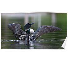 Common loon at 6am Poster
