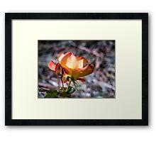Rose, sweet Rose Framed Print