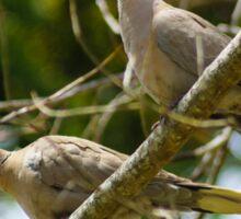 Collared doves Sticker