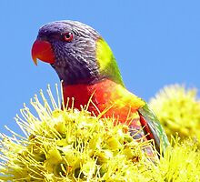 Rainbow Lorikeet by Margaret  Hyde