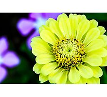 Zinnia Flower Photographic Print