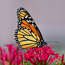 Beautiful Butterfly by David Lee Thompson