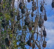 Grey Headed Flying Foxes - Pteropus Poliocephasus by Margaret  Hyde