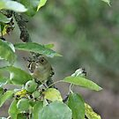 Goldcrest under a shady leaf by avocet