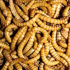 Mealworms by Kawka