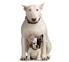 English Bull Terrier & Frenchie Friend Photographic Print