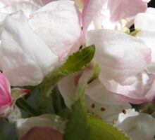 Apple Blossoms Sticker