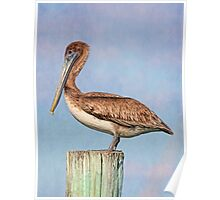 Young Brown Pelican Poster
