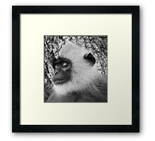 "Close-up ""black-faced"" Hanuman langurs Framed Print"