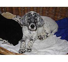 English Setter Puppy Photographic Print
