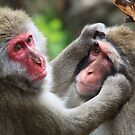 Japanese Macaques by margotk