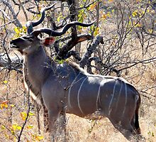 Kudu, South Africa (Tragelapohus strepsiceros) by Margaret  Hyde