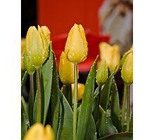 Tulips (9) Photographic Print