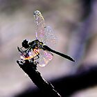 Dragonfly Wings by NaturesEarth