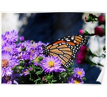 Butterfly on Asters III Poster