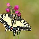 Swallowtail butterfly by Remo Savisaar