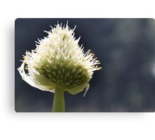 Onion Flower Canvas Print
