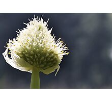 Onion Flower Photographic Print