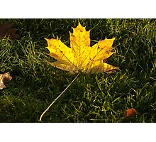 A fallen maple leaf in the sun Photographic Print