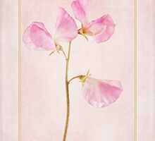 Pink Sweet Pea by John Edwards