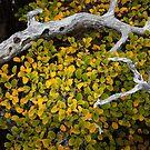 Cradled Fagus, Mt Field by Jim Lovell