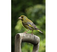 Greenfinch on old wooden garden fork handle. Photographic Print