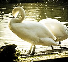 Sunlight Swan by Pixelglo Photography