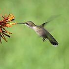 Ruby Throat Hummingbird by Bob Hardy