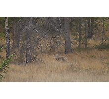 Jasper Coyote Photographic Print