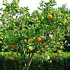 Orange Tree - Hunter Valley Gardens by Marilyn Harris
