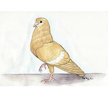 Indian Gola Pigeon Photographic Print