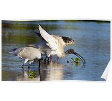 Australian White Ibis Poster