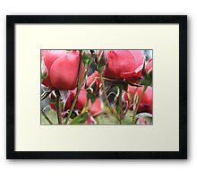 Through the Roses Framed Print