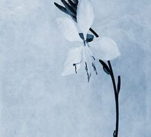 Oenothera lindheimeri Cyanotype by John Edwards