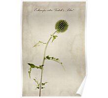 Echinops ritro 'Veitch's Blue' Poster