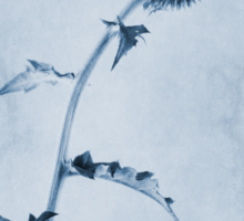Echinops ritro 'Veitch's Blue' Cyanotype Sticker