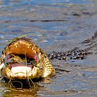 Alligator Swallowing a Blue Crab by imagetj