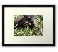 Groundhog, Montreal Framed Print