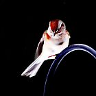 American Tree Sparrow by Laurie Minor