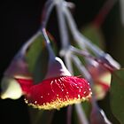 Red and Yellow Eucalyptus Flowers by Joy Watson