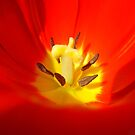 red tulip close up by studenna