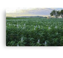 Lupins coming into flower. Canvas Print