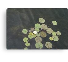 Lily Pad Cute Visitor - A Little Turtle Emerging Among The Waterlilies  Canvas Print