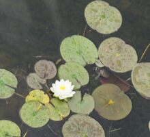 Lily Pad Cute Visitor - A Little Turtle Emerging Among The Waterlilies  Sticker