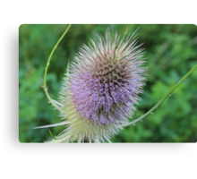 A whistle for the thistle Canvas Print