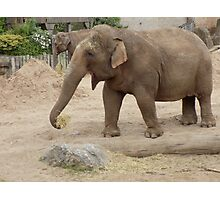 Chester Zoo African Elephant Photographic Print